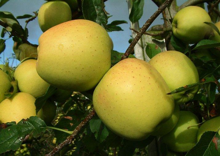 apfelbäume kaufen gala